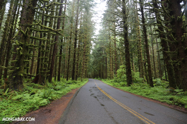 Road through the Hoh rainforest