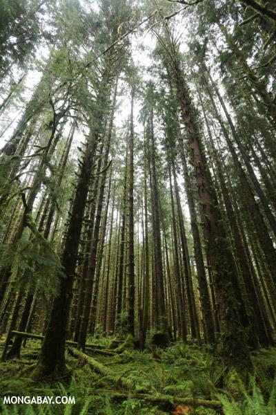 Hoh rain forest [olympic_rainforest_0612]