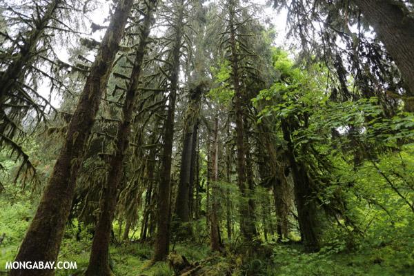 Hoh rain forest [olympic_rainforest_0631]