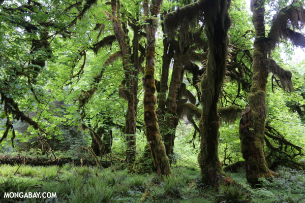 Hoh rain forest [olympic_rainforest_0640]