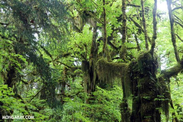 Hoh rain forest [olympic_rainforest_0671]
