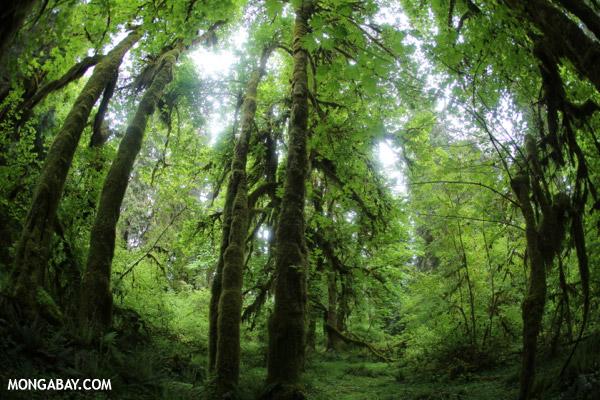 Olympic rainforest [olympic_rainforest_0697]