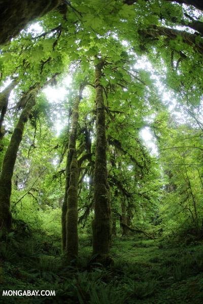 Olympic rainforest [olympic_rainforest_0698]