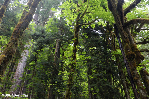 Olympic rain forest [olympic_rainforest_0732]